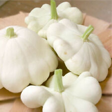 50 WHITE BUSH SCALLOP SQUASH PATTY PAN Cucurbita Seeds