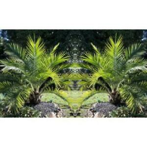 PAIR of Phoenix canariensis - Canary Island Date Palm Tree - 3-4ft - 100-120cm