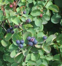 Saskatoon - Amelanchier Alnifolia - 50 seeds - Unusual Fruiting Shrub - Berries