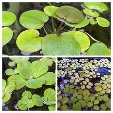 New listing Pond/Aquarium floating plant pack bundle- Frogbit, Water Lettuce, Spangles