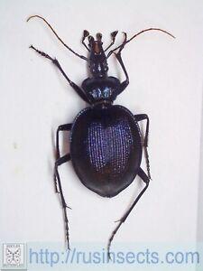 Carabidae, Carabinae, Cychrini Scaphinotus (Irichroa) viduus USA (Pennsylvania)