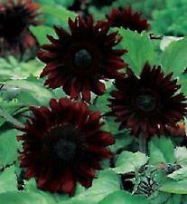 25 Black Magic Sunflower Seeds Flowers Seed Flower Perennial Bloom 1095