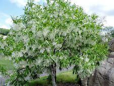 White Fringe Tree (Chionanthus virginicus) 10 seeds