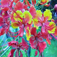 BIRD OF PARADISE SEEDS CAESALPINIA PULCHERRIMA FLOWERING SHRUB 5 SEED PACK