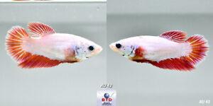 Live Betta Fish AU43 Female Fancy Pink Dragon HM for Breeding Premium Grade