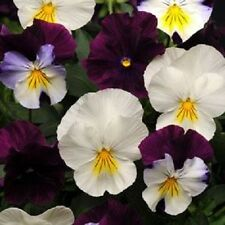 "15 Seeds Pansy Cool Wave Berries  ""N""  Cream Mix (HANGING PANSY) Coolwave Pansy"
