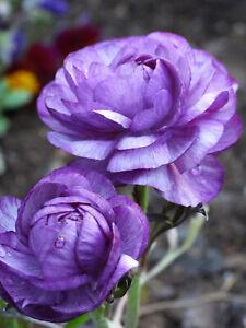 10 x RANUNCULUS PURPLE GARDENING BULB Buttercup SPRING SUMMER FLOWER PERENNIAL