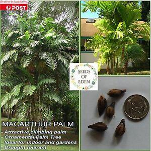 10 MACARTHUR PALM SEEDS (Ptychosperma macarthurii); Ornamental