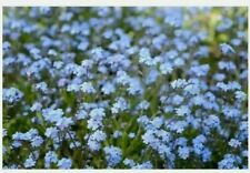 Forget Me Not Blue Purple Flower 20 Seeds Garden Plant Easy Grow DIY Bees Eco UK