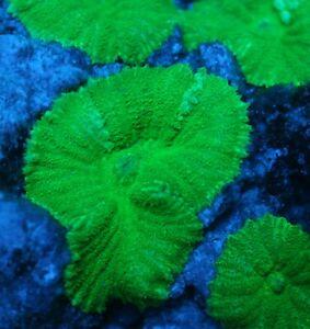 Live Coral: Bright Green Mushroom Coral VERY HARDY INVERTEBRATE!