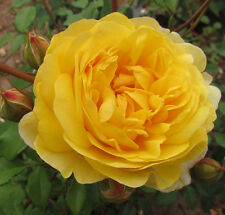 THE POET'S WIFE - 5.5lt Potted David Austin Shrub Garden Rose - New Introduction