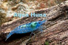 8 Blue Velvet Shrimp