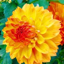 2PCs Bulbs Yellow Dahlia Flower Bonsai Symbolizes Courage Home Garden