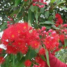 EUCALYPTUS (Corymbia) ficifolia Red Flowering Gum Seeds (E 9)