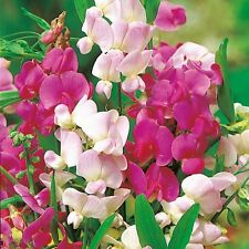 Lathyrus Latifolius - Crown Special Mix - 20 Seeds