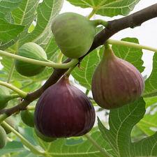 "Pianta di Fichi Fico ""Ficus Carica Brown Turkey"" vaso ø14 cm"