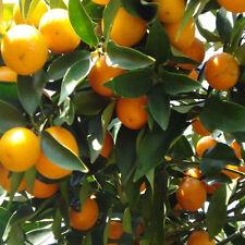 50 pcs Mandarin Citrus Orange Bonsai Tree Seeds Fashion Delicious Fruit Seeds