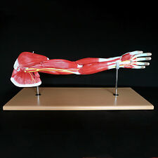 Human Anatomical Muscular Arm Model - Muscle System - Medical Anatomy Skeleton
