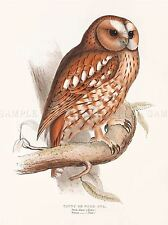 PAINTING BIRDS GOULD TAWNY WOOD OWL ART PRINT POSTER LAH567A