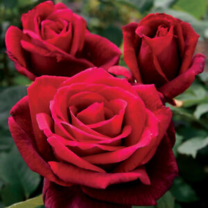 Mr. Lincoln rose seeds 10 per pack ~~ ships within 48 hrs~~