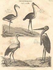 Ornitologia: grallae: ROSSO FLAMINGO; Bianco Ibis; CICOGNA BIANCA; giganteschi AIRONE; 1830