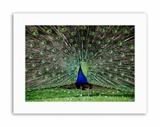 Peacock Birds Feather Photo Poster Picture Canvas Art Prints
