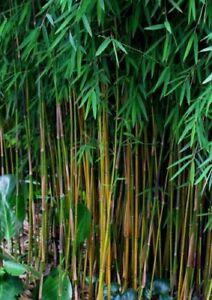 100+ Fresh Black Bamboo Seeds (Fargesia Sp Jiuzhaigou 4) hardy + Instructions