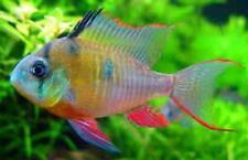 3 Bolivian Ram Cichlid Live Freshwater Aquarium Fish
