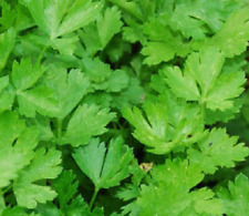 Perejil Comun Hoja Lisa - 3000 semillas seeds - salsa parsley persil