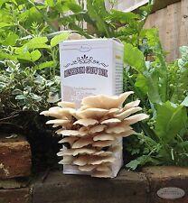 Mushroom Grow Box Kit - Pearl Oyster ( Open And Spray Kit )