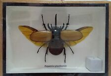 Eupatorus Gracilicornis Winged Display Insect Taxidermy Box Frame Gift FS gphsy