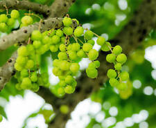 10 Seeds Phyllanthus emblica Indian Gooseberry tropical plant -seed Sale