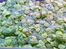 Red Root Floaters (20+ plants guaranteed!)