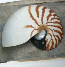 More details for nautilus chambered sidecut. (sc050)  cut shells, sliced shells, slices of shell