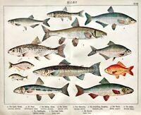 1887 SCHUBERT CHROMO #18 Barbel, Bitterling, Bream, Dace, Nase, Goldfish, Salmon