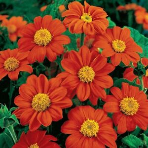 SUNFLOWER- MEXICAN RED Tithonia Diversifolia 15+ seeds :) Free Postage In Aus x