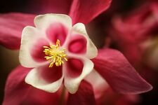 Columbine- Crimson Star - 50 Seeds (B1G1F)