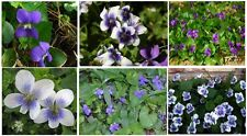 Violet Wild Flower Two Kinds Mixed Purple & White Blue Center  over 100 SEEDS