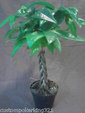 Pachira Aquatica, Bonsai Tree, Money Tree, potted, Tropical plant
