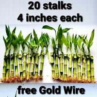 Lucky Bamboo 20 Stalks 4 Inches  Live Indoor Plant,  Feng Shui, Free Gold Wire