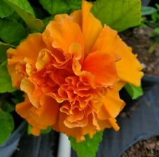 EXOTIC JANE COWEL HIBISCUS~ STARTER LIVE PLANT 3 to 5