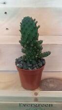 OPUNTIA MONACANTHA MONSTRUOSA Cactus vivo  5,5 pot Kakteen Live Cactus