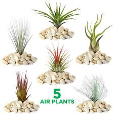 Tillandsia Mix - 5 Plants - Indoor Air Plant for House Vivarium Terrarium
