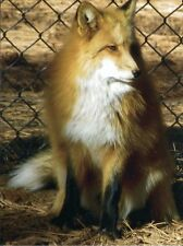 POST CARD OF A RED FOX THE ANIMAL NOT RED FOXX THE COMEDIAN