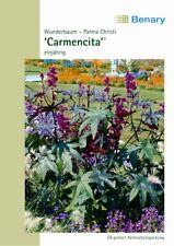 Benary Wunderbaum Carmencita