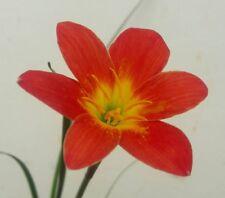 Rain Lily Bulb, Zephyranthes 'Scarlett O'Hara., Fairy Magic Lily, Flowering Size