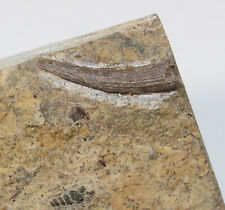 Zahn, Nothosaurus mirabilis, Trias, Muschelkalk, Kirchheim, Deutschland -x106