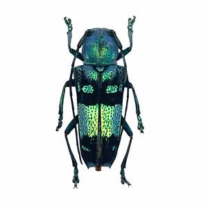 Pretty Longhorned Beetle, (Glenea celestis) Insect Collector Specimen