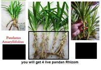 4 Live Pandan Fragrant CUTS -herb Pandanus Amaryllifolius for Plant with Rhizome