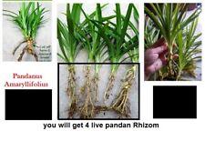 4+ Live Pandan Fragrant CUTS - herb Pandanus Amaryllifolius  Plant with Rhizome